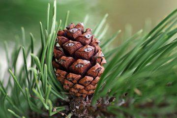 Siberian Pine Oil